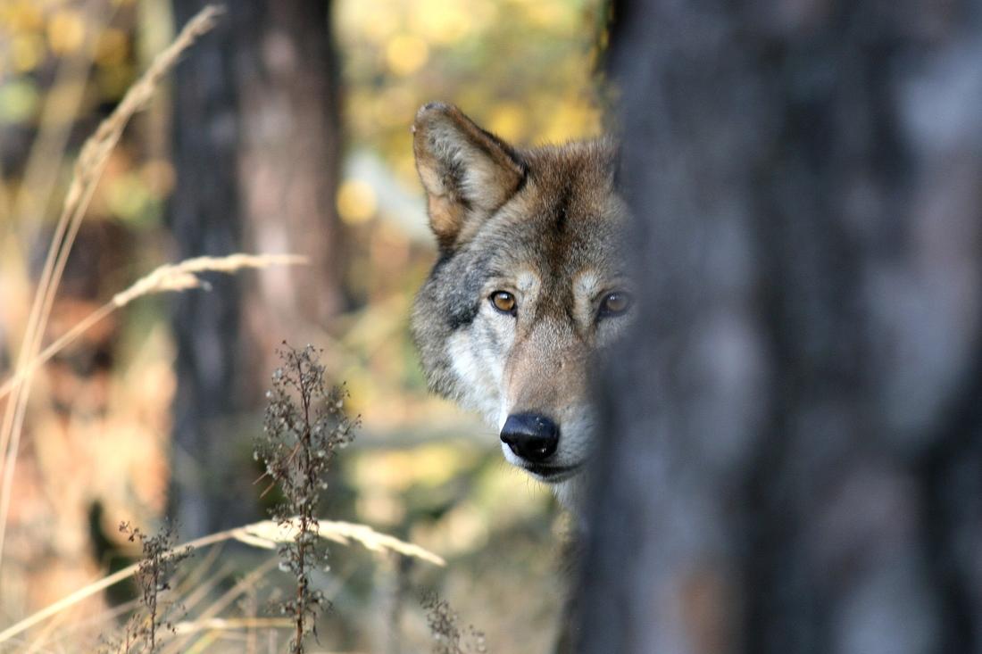 Wolfstag Dübener Heide