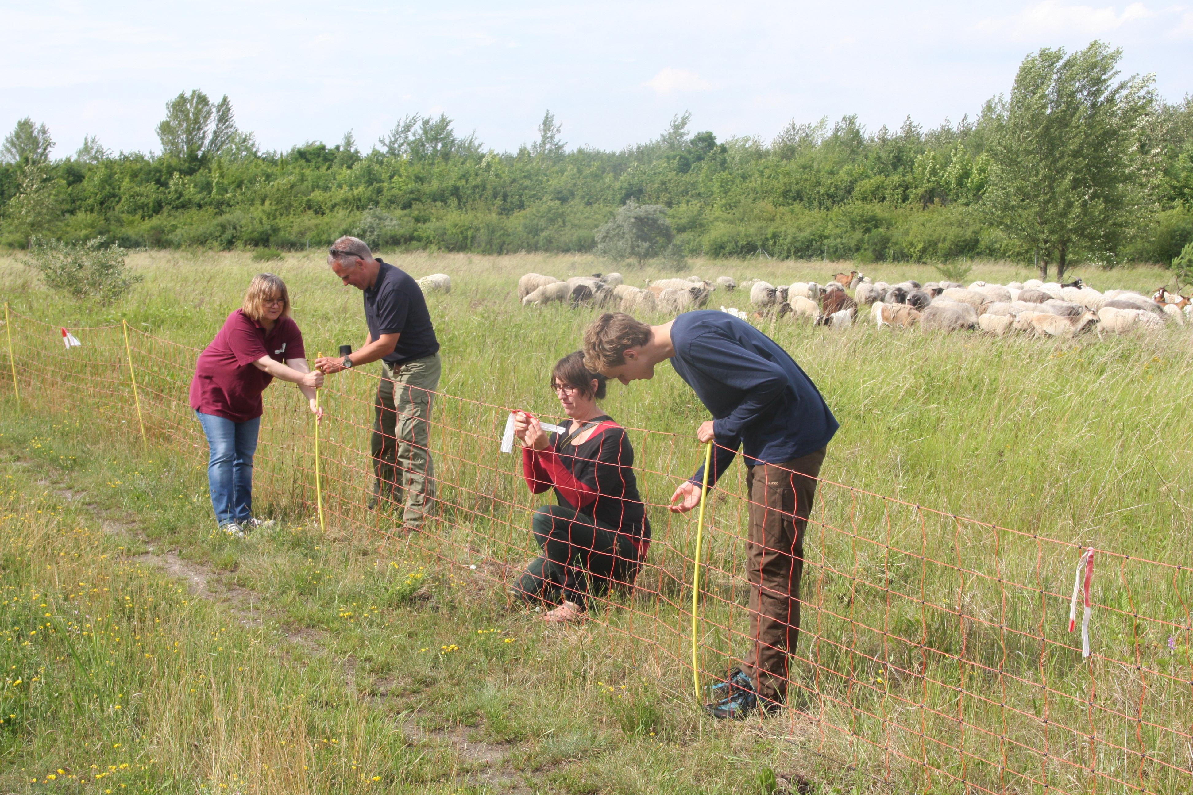 Freiwilligenarbeit im Herdenschutz – Zaunbaueinsatz in der Oberlausitz