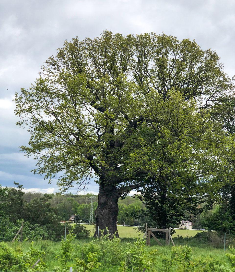 Findet Sachsens Baumriesen – Eine sachsenweite Mitmachaktion