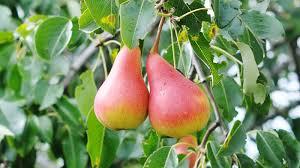 Birnbäume pflanzen und Birnen verkosten: Ein aktiv-köstlicher Vormittag in Ostelbien