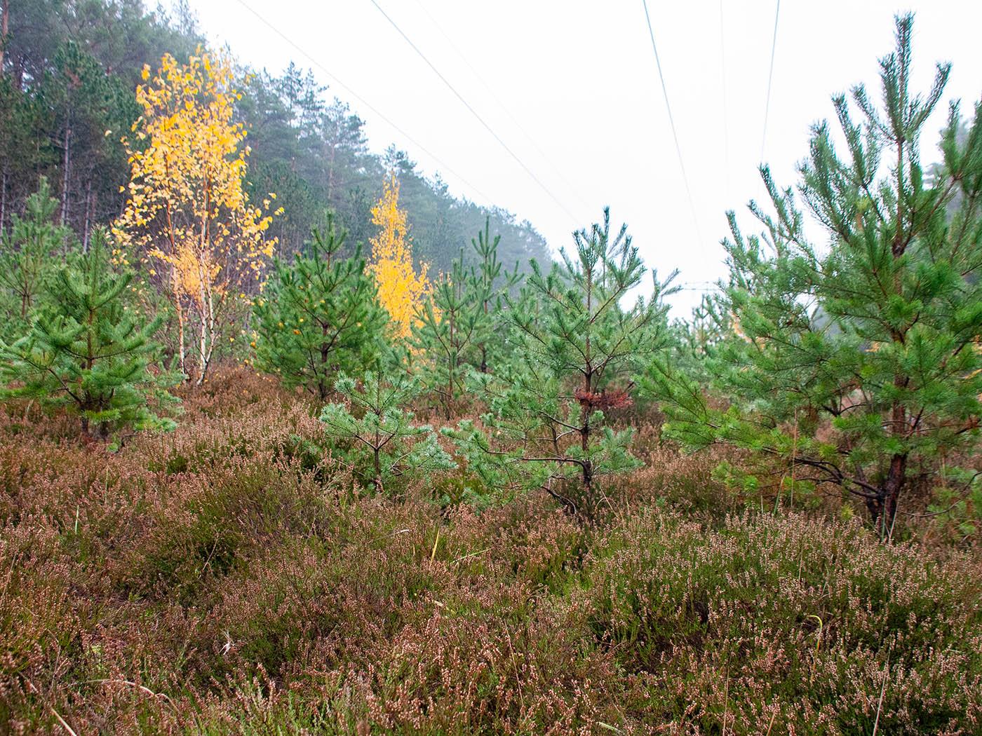 Weihnachtsbäume im Heidekraut – Hol Dir Deinen Wald ins Haus