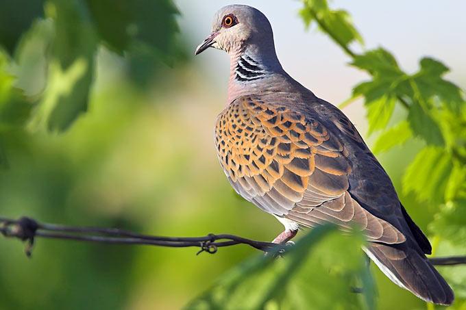 Vogel des Jahres 2020 – Turteltaube  : Lichtbildvortrag